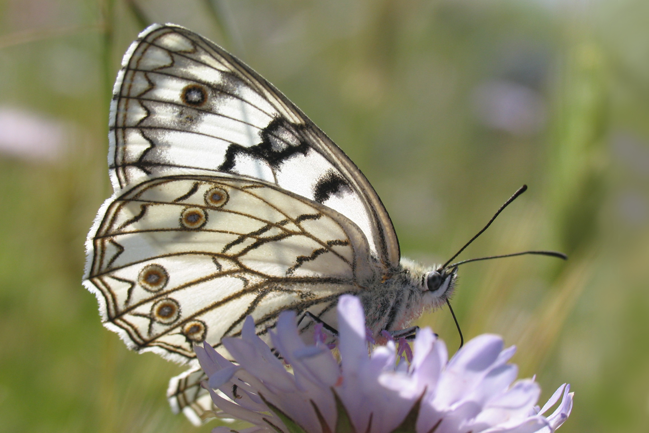 The protected butterfly Melanargia arge in coastal grasslands near Otranto (Lecce), Italy. Photo: R. Labadessa.