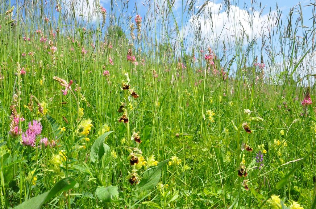 Orchids rich meadows