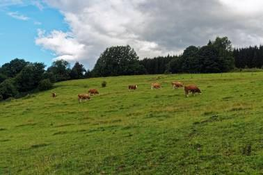Grazing milk cows