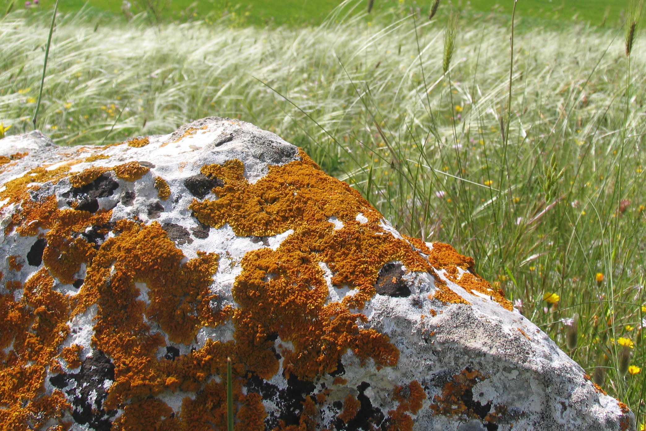 Limestone lichen community in submediterranean grasslands in Alta Murgia National Park, Italy. Photo: R. Labadessa.
